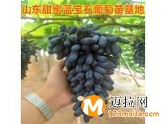 蓝宝石葡萄苗 山东蓝宝石葡萄苗 哪里有卖正宗蓝宝石葡萄苗的
