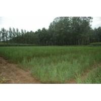 临沂樟子松苗种植,山东油松小苗价格