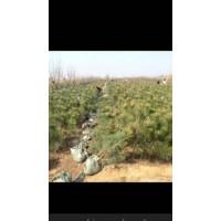 临沂樟子松价格,山东油松小苗基地